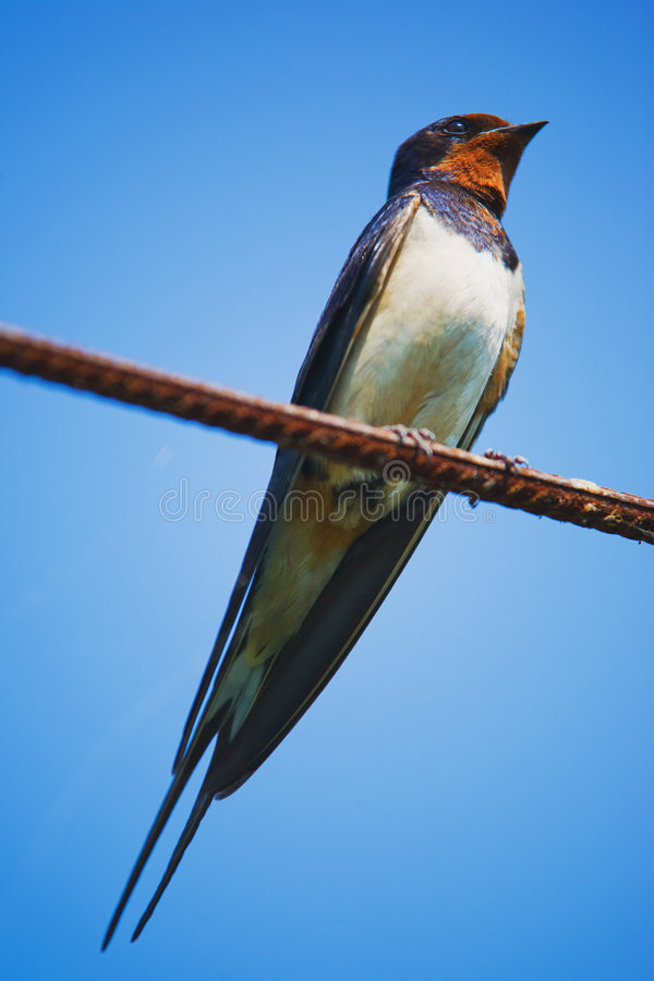 Swallow. Sitting on metal wire over blue sky royalty free stock photos