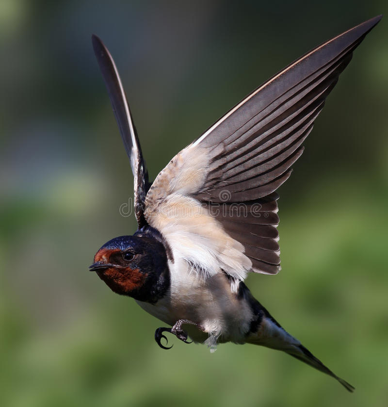 Swallow. Close-up of a barn swallow with outspread wing stock photos