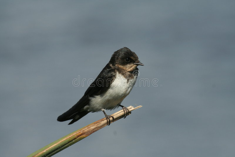 Swallow acerbo su un gambo asciutto fotografia stock libera da diritti