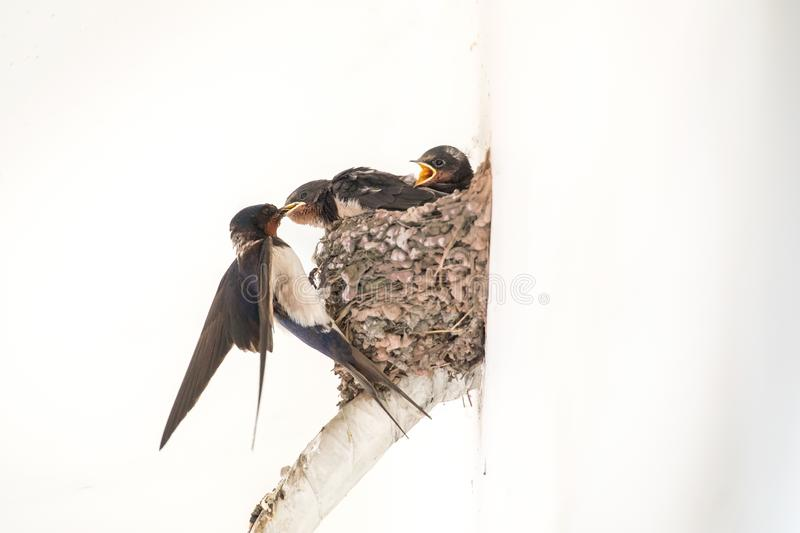 swallow babies waiting for food from their mother royalty free stock images