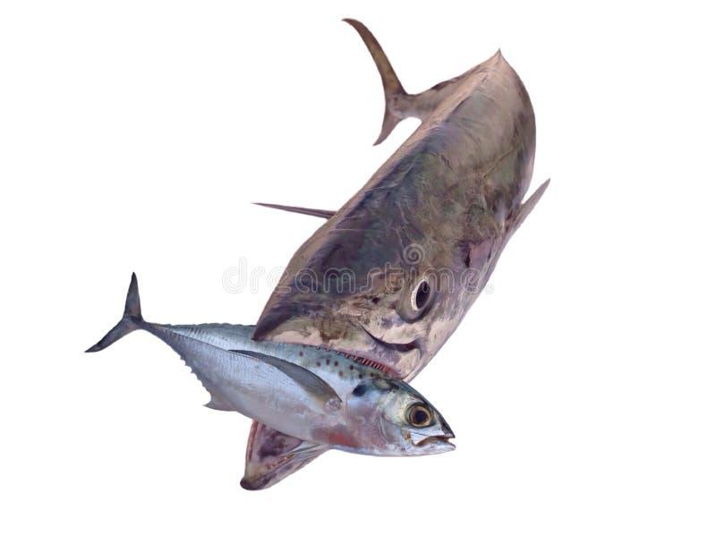 Swallow the bait. Giant mackerel fish eating smaller ,hunter animal isolated stock photo