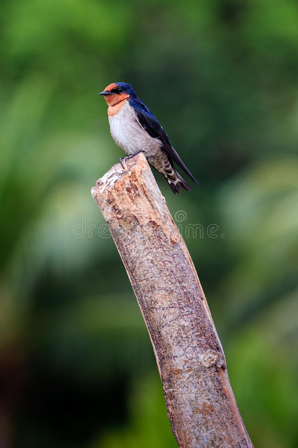 Download Swallow Bird Sitting On A Branch Stock Photo - Image: 17961954