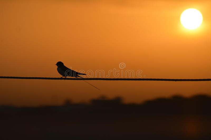 Swallow bird on wire with morning sun royalty free stock image