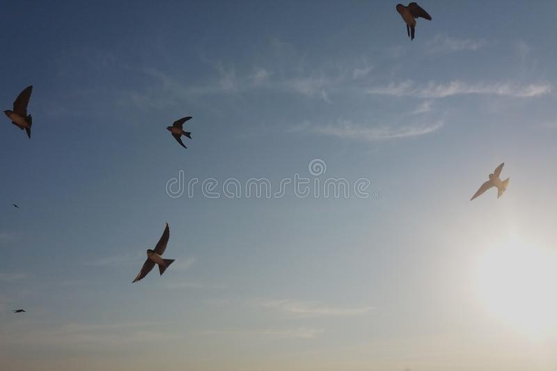 Swallow birds flying in the sky stock photo