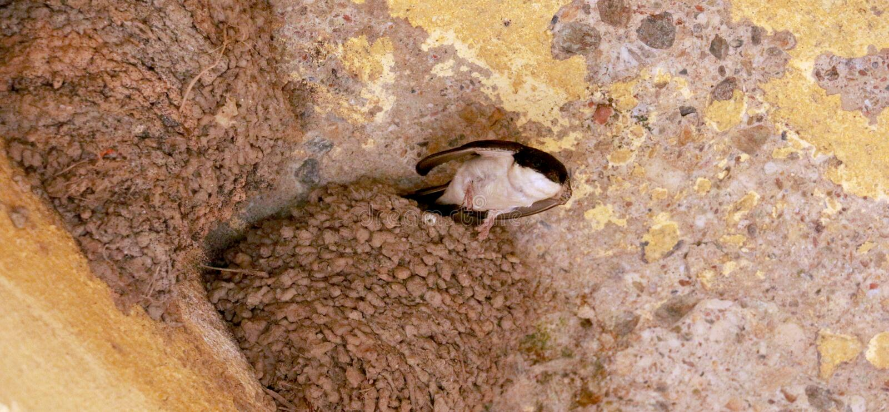 Swallow birds nest royalty free stock photography