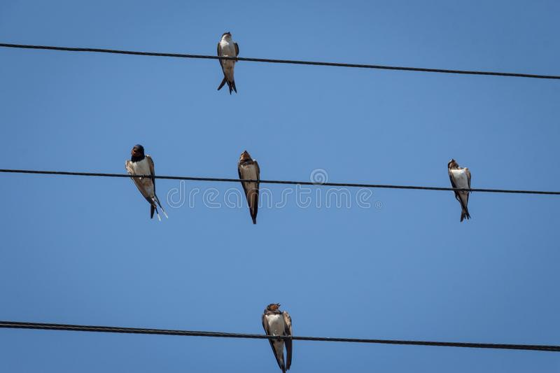 Swallow on a wire stock images