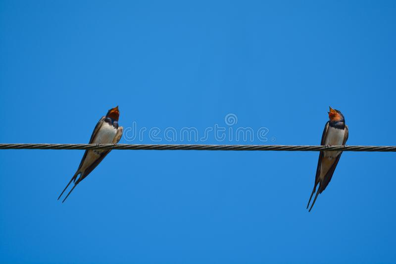 Swallow birds on wire. stock photo