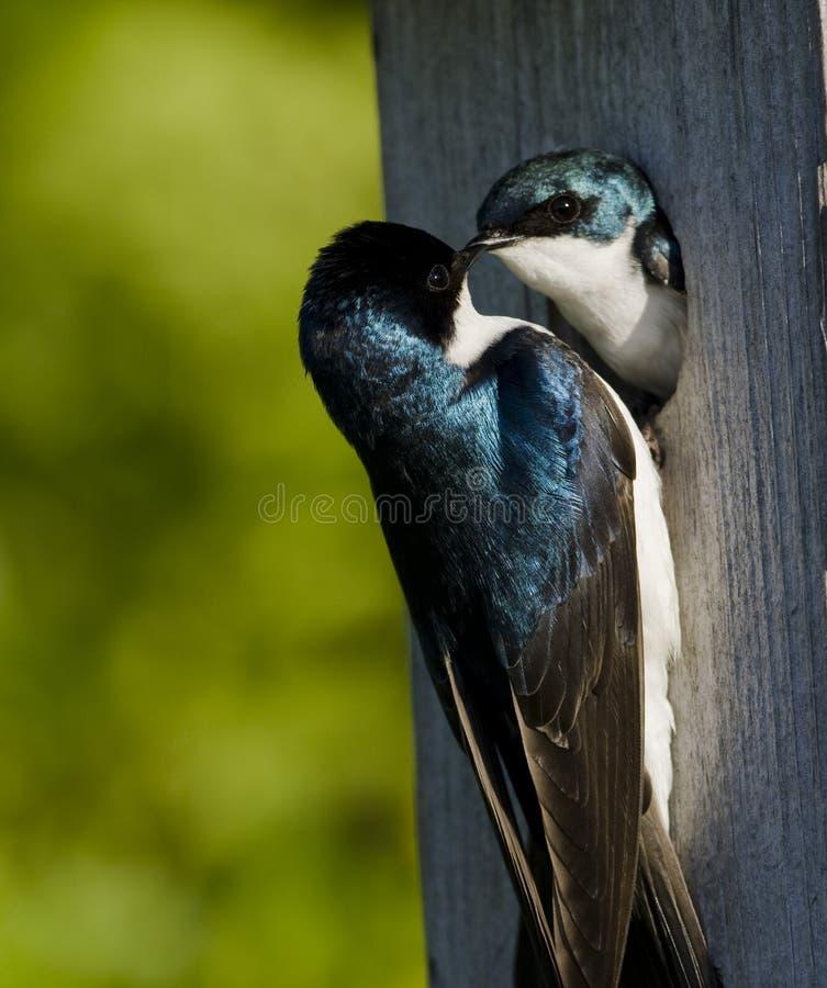 Swallow di albero (iridoprone bicolore) immagine stock libera da diritti
