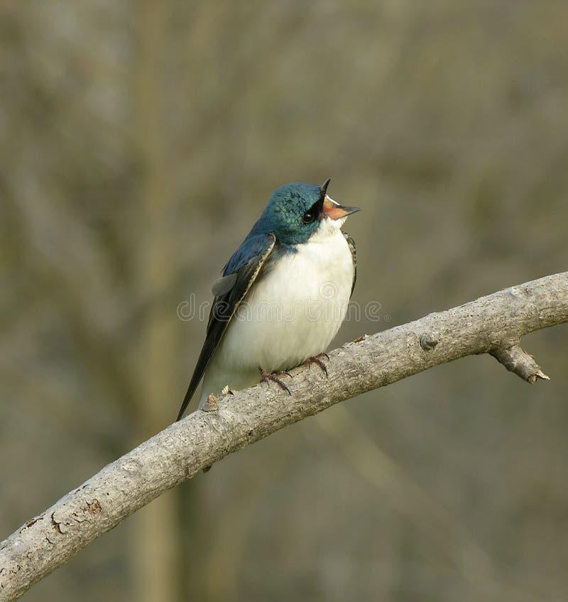 Swallow di canto fotografie stock libere da diritti