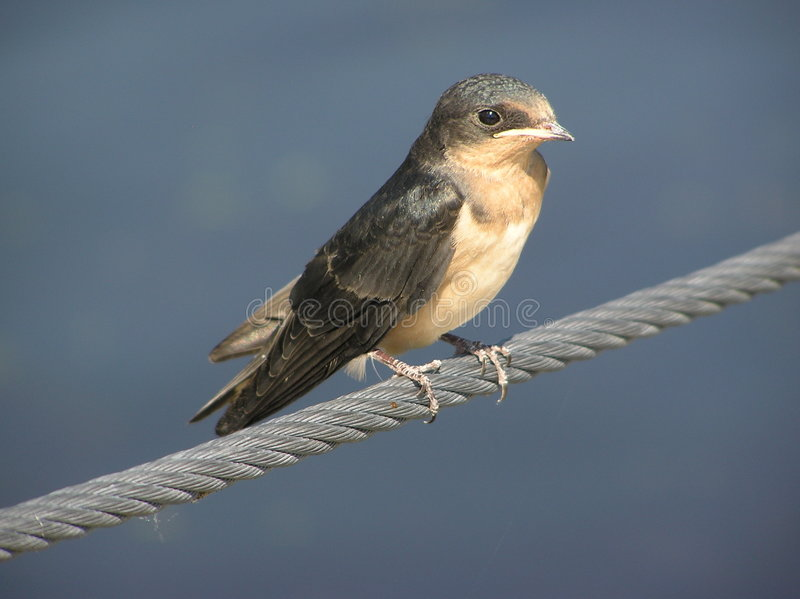 Swallow di granaio 4 fotografia stock