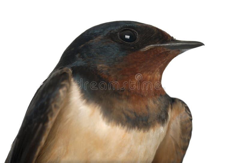 Swallow di granaio, rustica del Hirundo, fine in su immagini stock