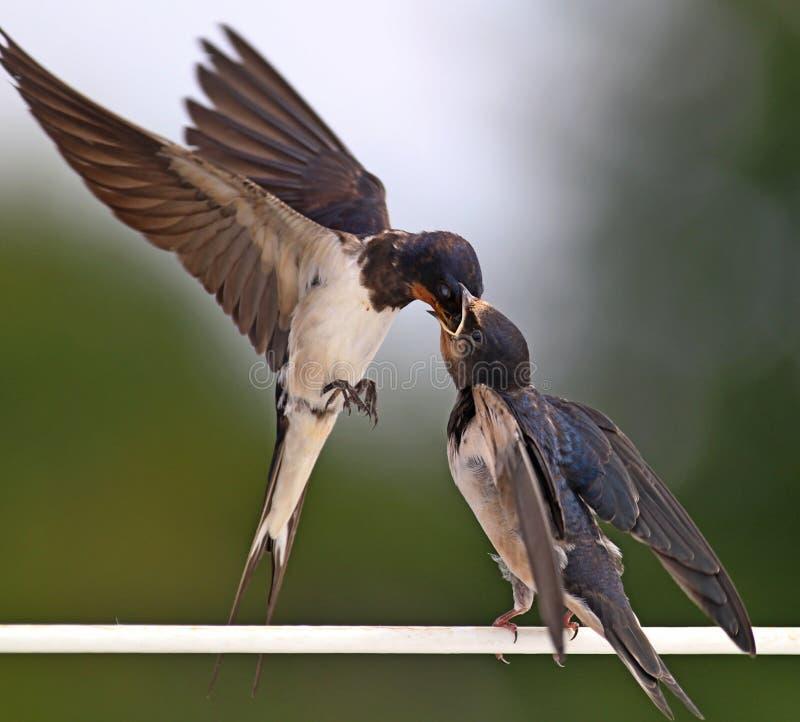 Swallow feeding a young bird stock photos