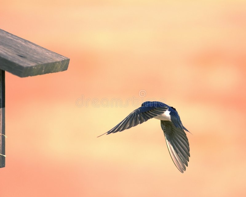 Swallow In Flight royalty free stock photography