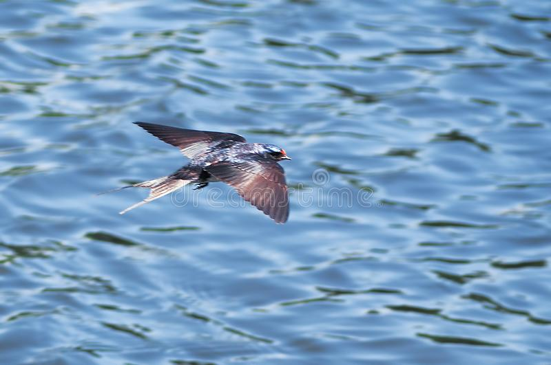 Swallow at the flight over the lake. The Swallow at the flight over the lake royalty free stock photo