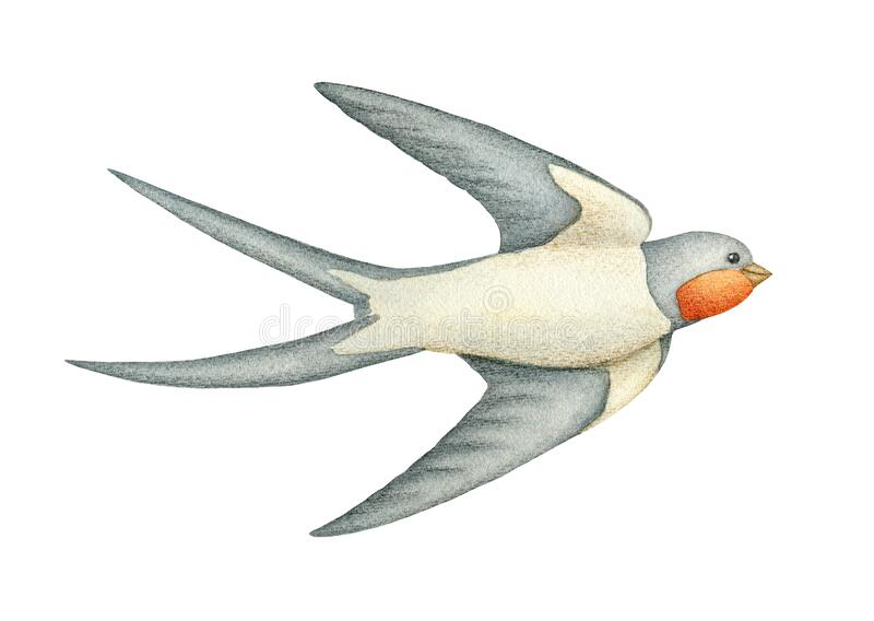 Watercolor swallow. Hand painted spring illustration stock photos