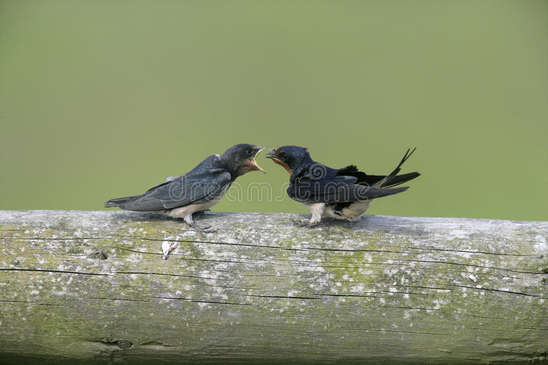 Swallow, Hirundo rustica, royalty free stock images