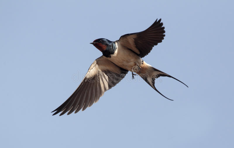 Swallow, Hirundo rustica. Single bird in flight against blue sky, Portugal, March 2010 stock photography