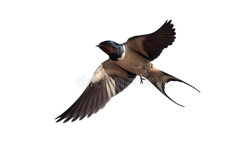 Swallow, Hirundo rustica royalty free stock images