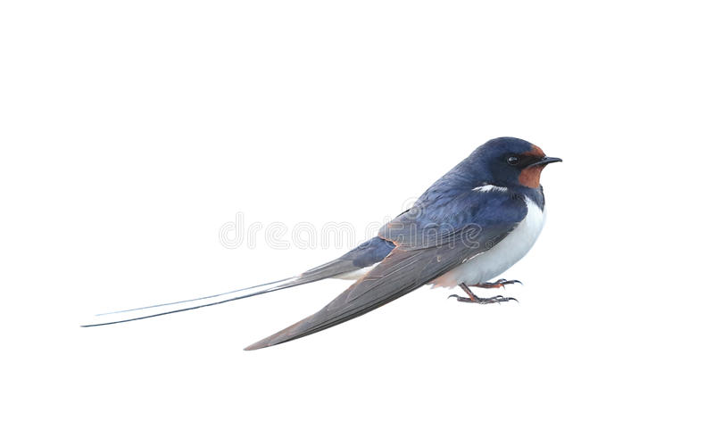 Swallow. Hirundo rustica, on a white background royalty free stock images