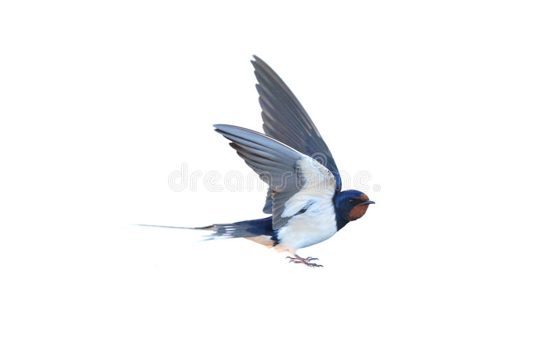 Swallow. Hirundo rustica, on a white background stock image