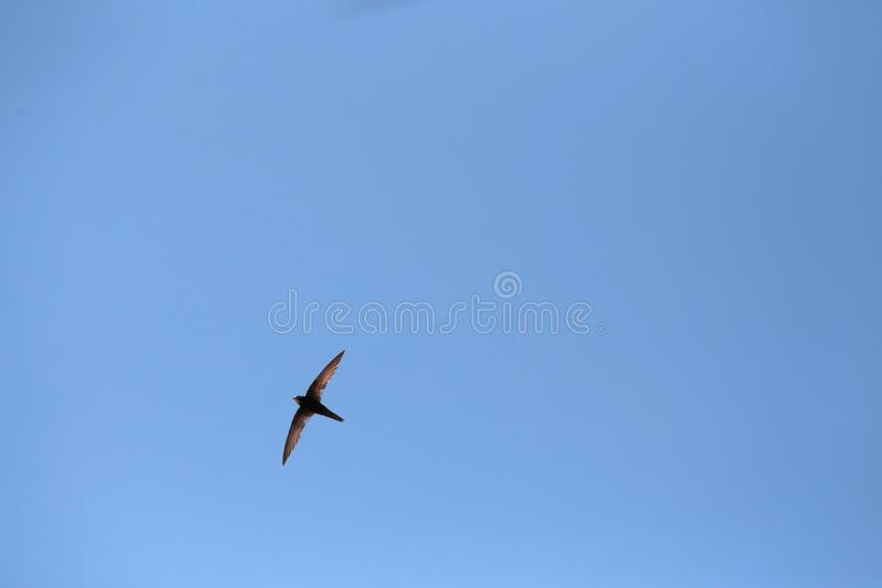 Swallow inflight over mallorca sky during early summer season. Swallow flying over Mallorca sky during early summer season nature background stock image