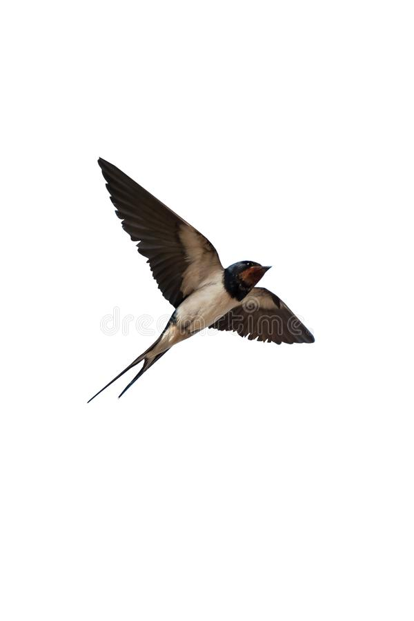 Swallow isolated on white. Background royalty free stock photos