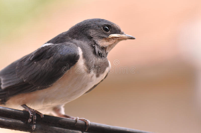 Swallow. Little swallow bird sitting on wire royalty free stock photo