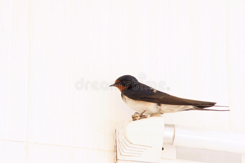 Swallow. The male swallow(scientific name: Hirundo rustica) stands on a fluorescent lamp royalty free stock photography