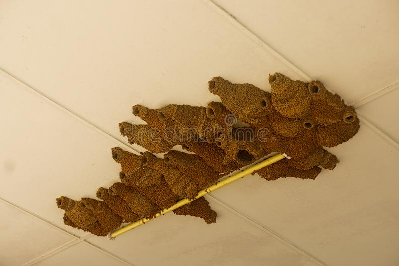 Swallow mud nests in building stock images