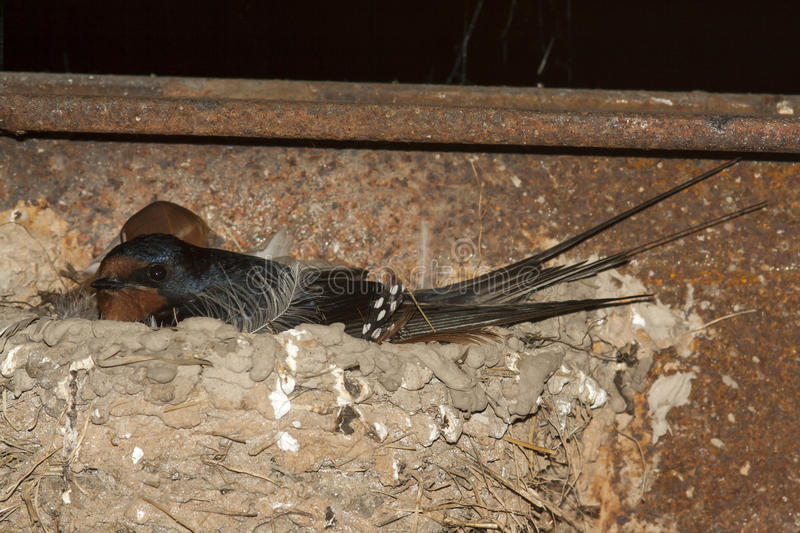 Swallow on nest. The black swallow on nest stock photo