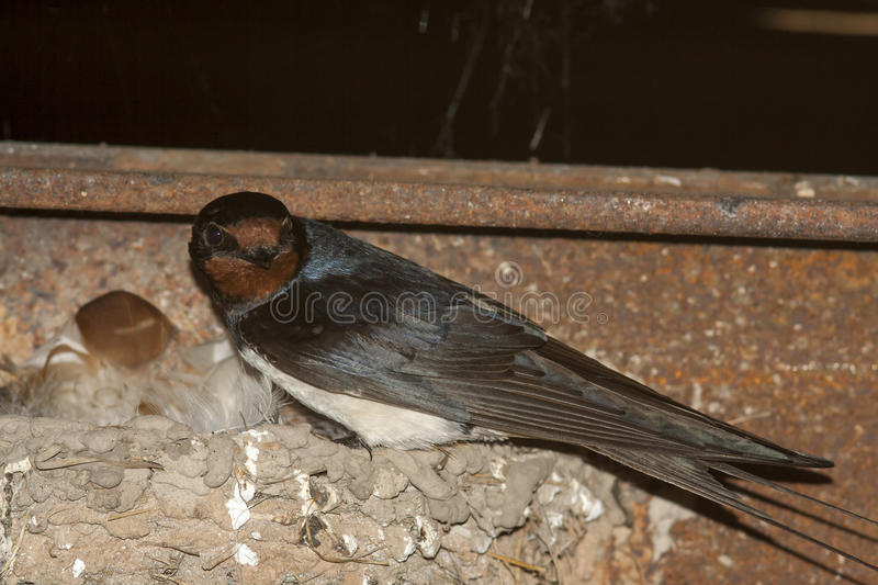 Swallow on nest. The black swallow on nest stock photography