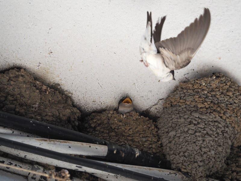 Swallow nest stock photo