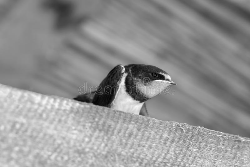 Swallow nestling sits under roof. Swallow nestling sits on sunlit wooden beam under roof. Black and white toned image royalty free stock photos