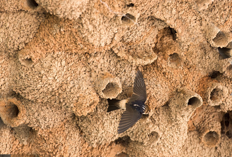 swallow nests stock image