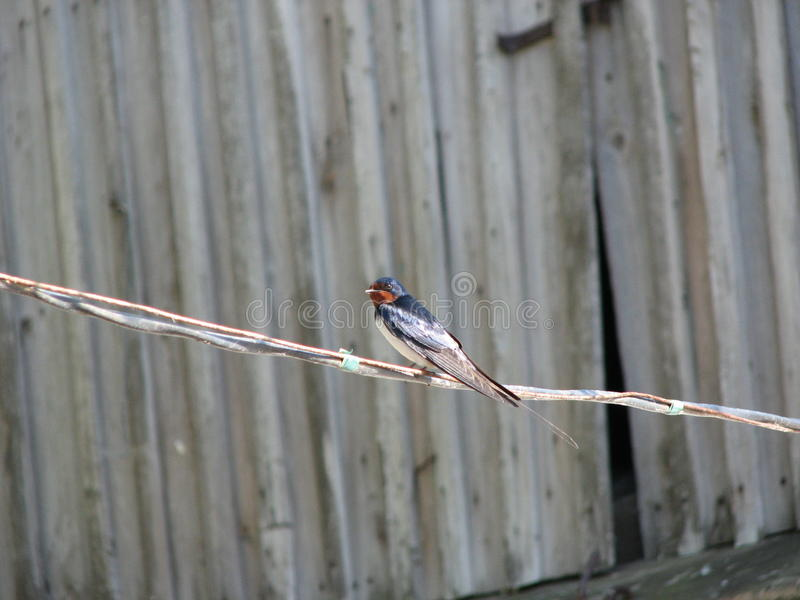 Swallow stock photography