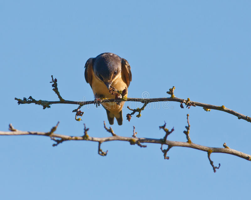 Swallow with a stare