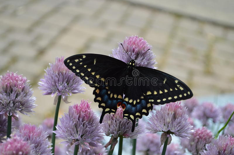 Swallow Tail Butterfly royalty free stock photography