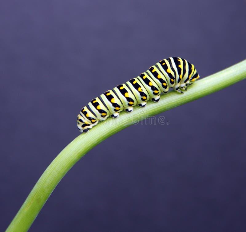 Free Swallow Tail Caterpillar Stock Photos - 5985023