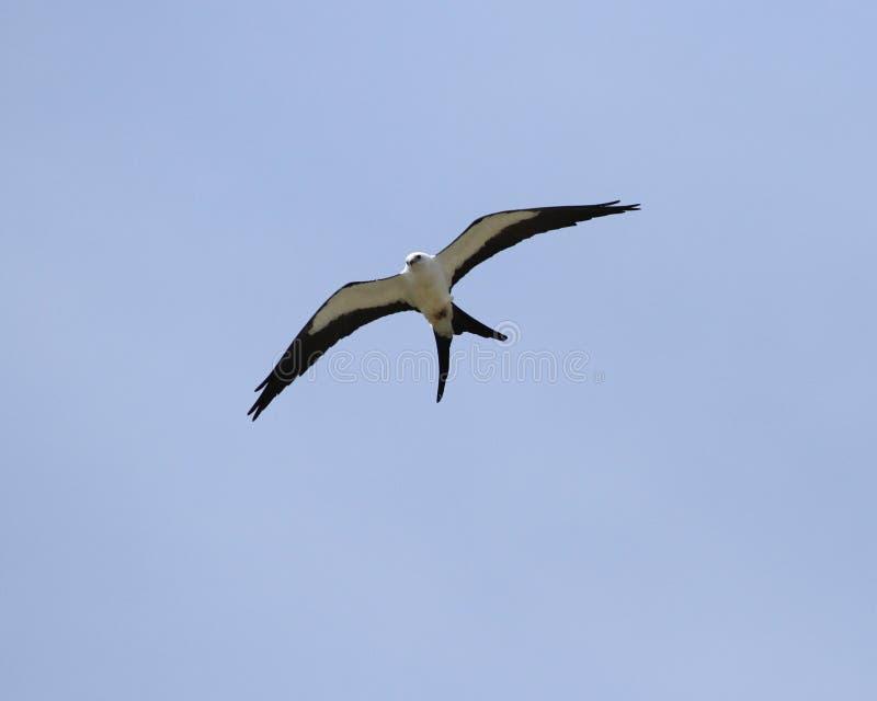 Swallow tail kite royalty free stock photos