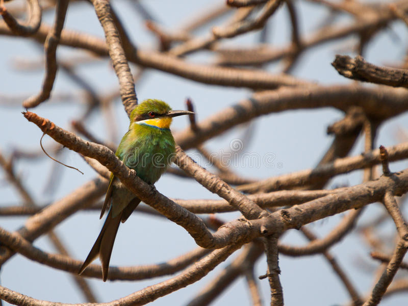 Swallow-tailed bee-eater Merops hirundineus chrysolaimus stock image