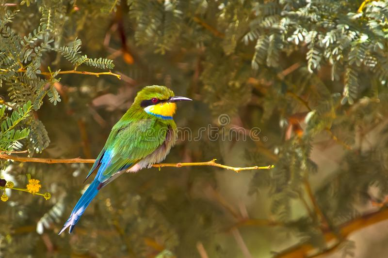 Swallow-tailed Bee-eater perched on branch royalty free stock image