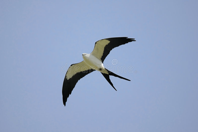 Swallow-tailed Drachen stockfotografie