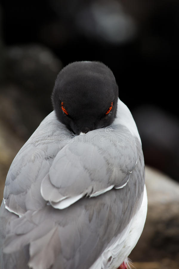 Download Swallow-tailed gull stock image. Image of sinister, swallow - 22106713