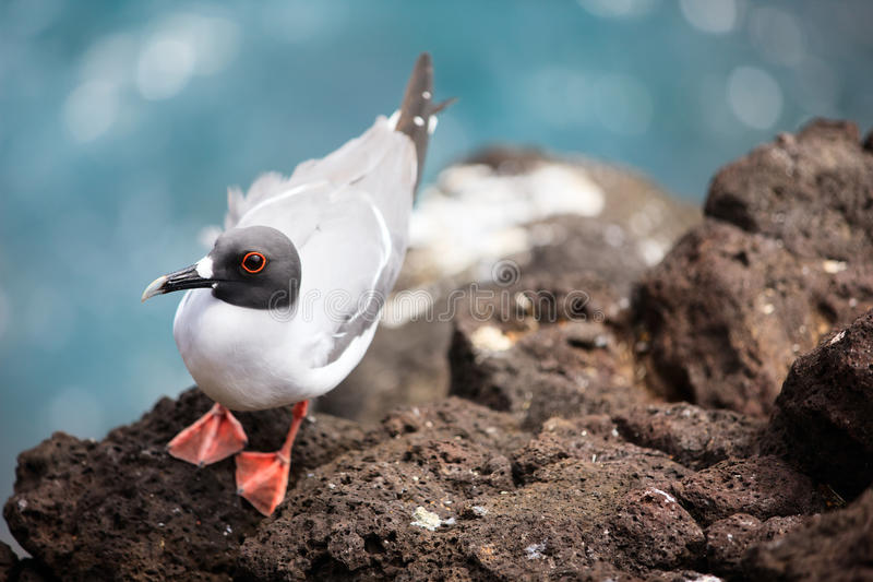 Download Swallow-tailed gull stock image. Image of animal, endemic - 29149541