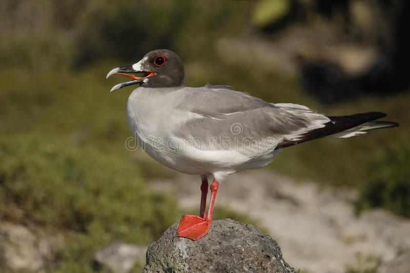 Swallow-tailed Gull perched on a rock stock images
