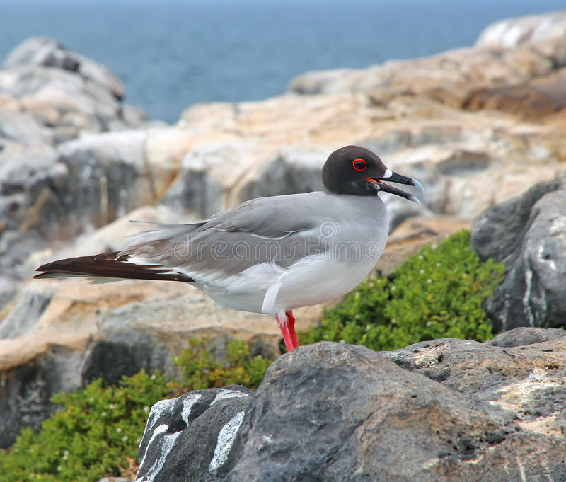 Swallow Tailed Gull stock images
