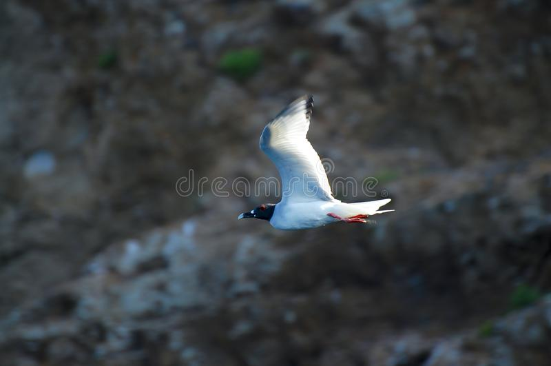 Swallow Tailed Gull royalty free stock photography
