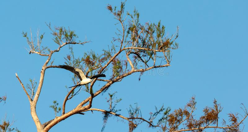 Swallow-tailed kite collects Spanish moss to build a nest royalty free stock photo