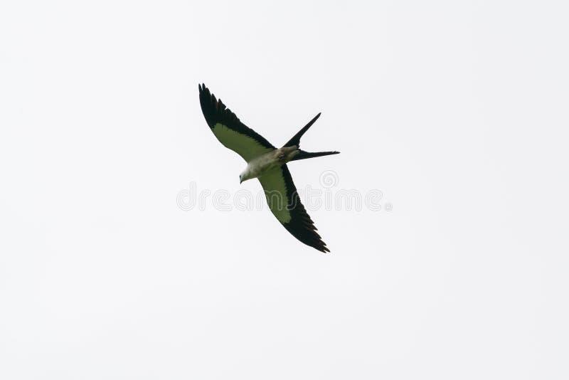 Swallow-tailed Kite (Elanoides forficatus) in Costa Rica royalty free stock photo