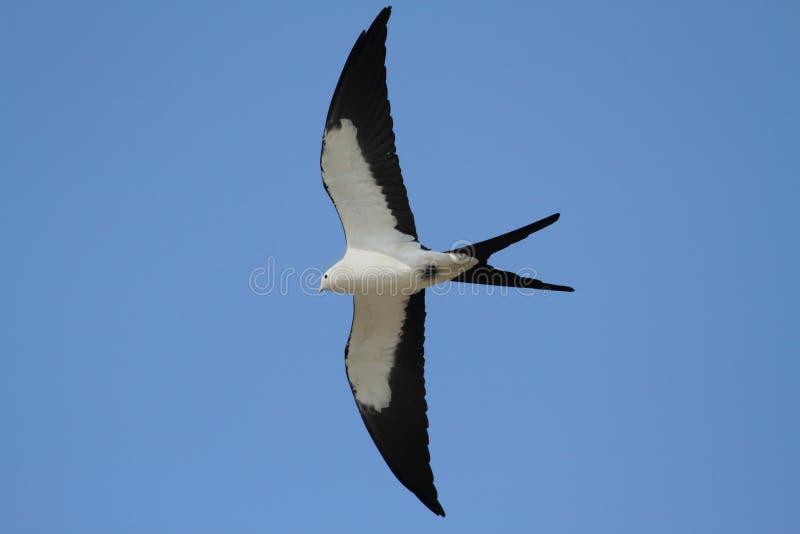 Swallow-tailed Kite stock photos